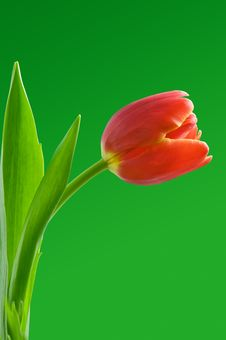 Free Tulip Stock Photo - 18366860