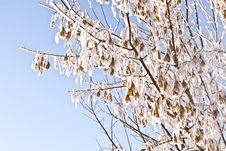 Free Snowed Branches Of Sugar Maple Stock Photo - 18367350