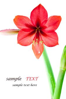 Free Flowers Bright Red. Stock Photos - 18367363