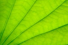 Free Green Lotus Leaf Royalty Free Stock Photos - 18367408