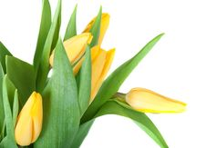 Free Tulips Stock Image - 18369921