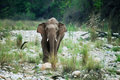 Free Asian Elephant Tusker Stock Images - 18373934