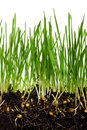 Free Wheat Grass Royalty Free Stock Images - 18374459