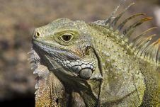 Free Iguana Head Closeup Stock Photo - 18370300