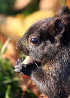 Free Squirrel Close Up Stock Photos - 18371963