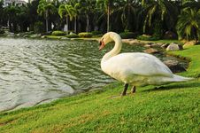 Free Swan On The Field With Lighting Royalty Free Stock Images - 18373799