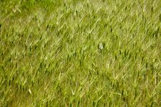 Free Goat Grass Texture Royalty Free Stock Photo - 18376415