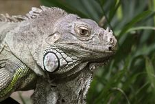 Free Green Iguana 02 Royalty Free Stock Photography - 18377537