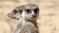 Free Pair Of Meerkats 03 Royalty Free Stock Image - 18377546