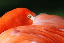 Free Flamingo 01 Royalty Free Stock Image - 18377566