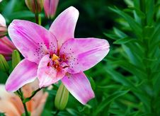 Free Pink Lily Closeup Stock Photos - 18378213
