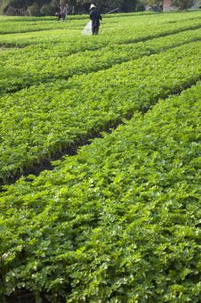 Free Vegetable Plot And Peasantry Royalty Free Stock Image - 18378526