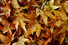 Free Autumn Leaves Royalty Free Stock Image - 18379096