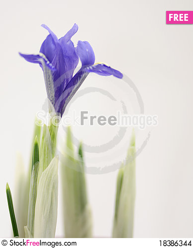 Free Crocus Flower Stock Images - 18386344