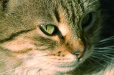 Free Cat Face Royalty Free Stock Images - 18380029