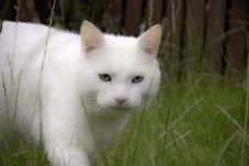 Hunting White Cat Stock Photography