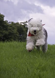 Free Sheepdog Running In Field Royalty Free Stock Photo - 18380975