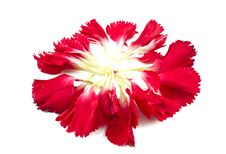 Free Carnation Petals Royalty Free Stock Photo - 18381745
