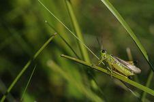 Free Grasshopper Stock Photo - 18382760