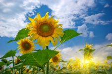 Free Sunflower Stock Photography - 18383652