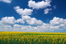 Free Meadow Of Sunflowers Stock Photos - 18383693