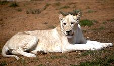 Free White Lion Royalty Free Stock Photos - 18385068