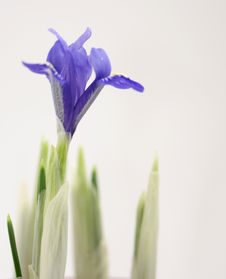 Free Crocus Flower Stock Images - 18386344