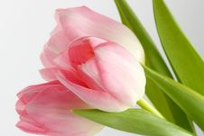 Free Tulips Stock Photo - 18386630