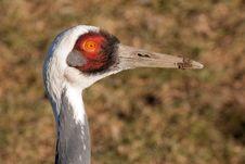 Free Head Of A Crane Royalty Free Stock Photos - 18387288