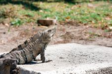Free Iguana Royalty Free Stock Photography - 18387817