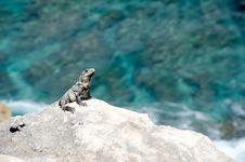 Free Iguana Stock Photos - 18387833