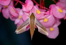 Free Tersa Sphinx Moth Royalty Free Stock Image - 18388536