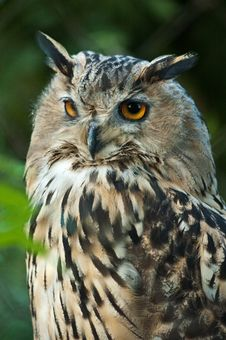 Free Owl Closeup Royalty Free Stock Images - 18389519