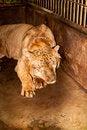 Free Captive Liger Stock Photo - 18399770