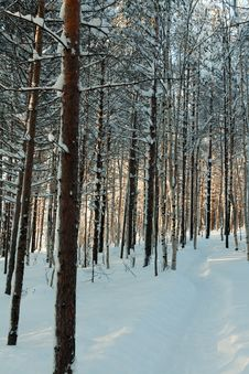 Free Winter Forest Royalty Free Stock Images - 18391339
