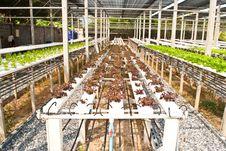 Free Thai Vegetable. Royalty Free Stock Photos - 18391798