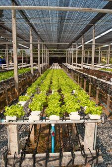 Free Thai Vegetable. Royalty Free Stock Photos - 18392078