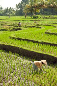 Free Rice Fields And Forests Royalty Free Stock Photography - 18392897