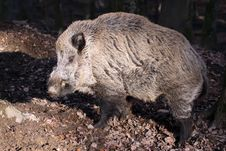 Free Wild Boar Stock Photos - 18393403