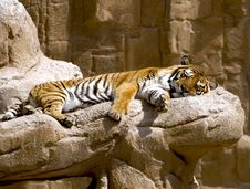 Free Sleeping Tiger Stock Photo - 18393620