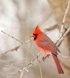 Northern Cardinal, Cardinalis Cardinalis Stock Photography