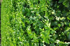 Free Vegetable Plot Royalty Free Stock Photos - 18394048