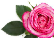 Free Pink Rose Royalty Free Stock Image - 18394616