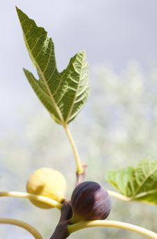Free Figs Royalty Free Stock Images - 18394989