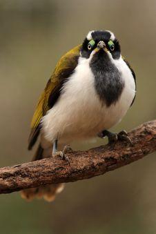Free Bird Cyanotis Stock Images - 18395704