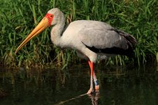 Free African Nesyt(Mycteria Ibis) Royalty Free Stock Image - 18396386