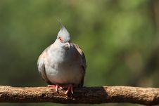 Free Crested Pigeon Royalty Free Stock Photos - 18396528