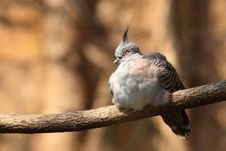 Free Crested Pigeon Royalty Free Stock Image - 18396656