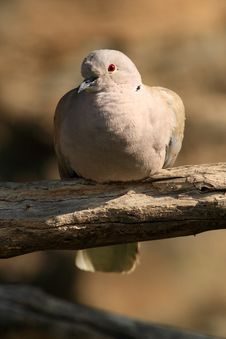 Free Stock Dove Royalty Free Stock Image - 18396846