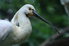 Free White Spoonbill Royalty Free Stock Photography - 18397527